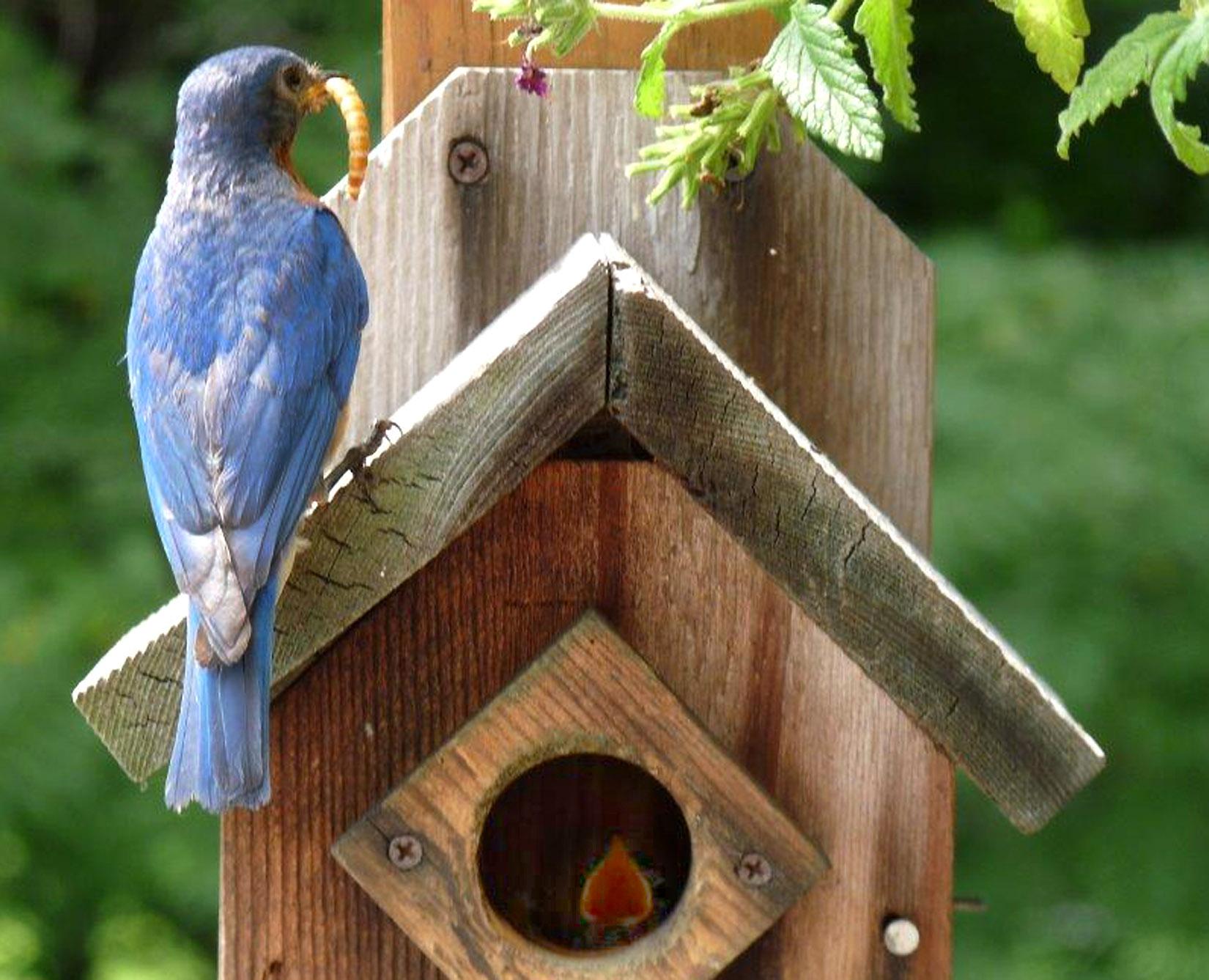 file wiki blue on jay cristata feeder cyanocitta feeders wikimedia bird
